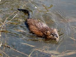 Muskrats, alligators, junebugs, and other critters crawl from the swamp into the music.